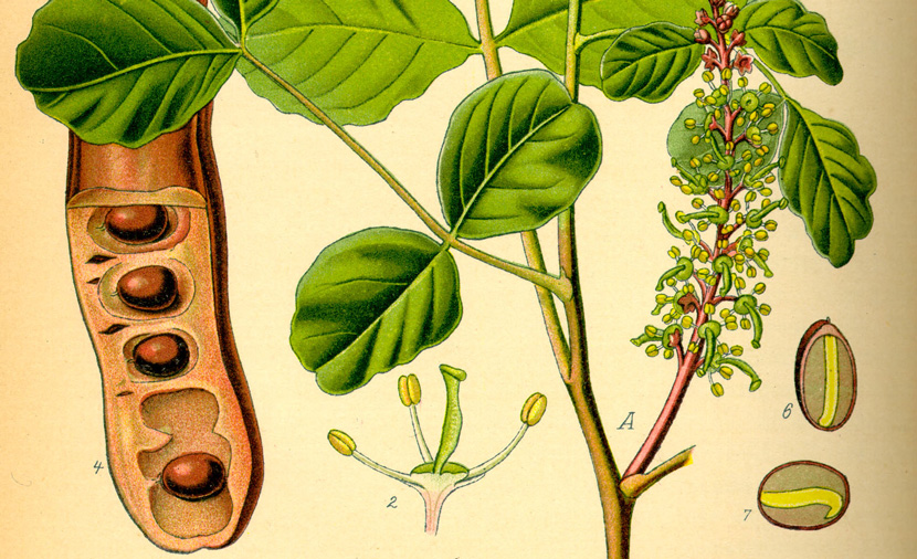From an 1885 illustration of the carob plant by Prof. Dr. Otto Wilhelm Thomé. Wikipedia.
