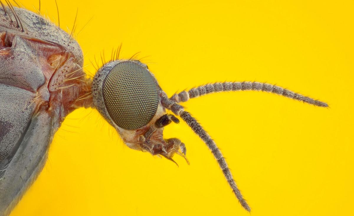 A wood gnat. Johan J.Ingles-Le Nobel/Flickr.