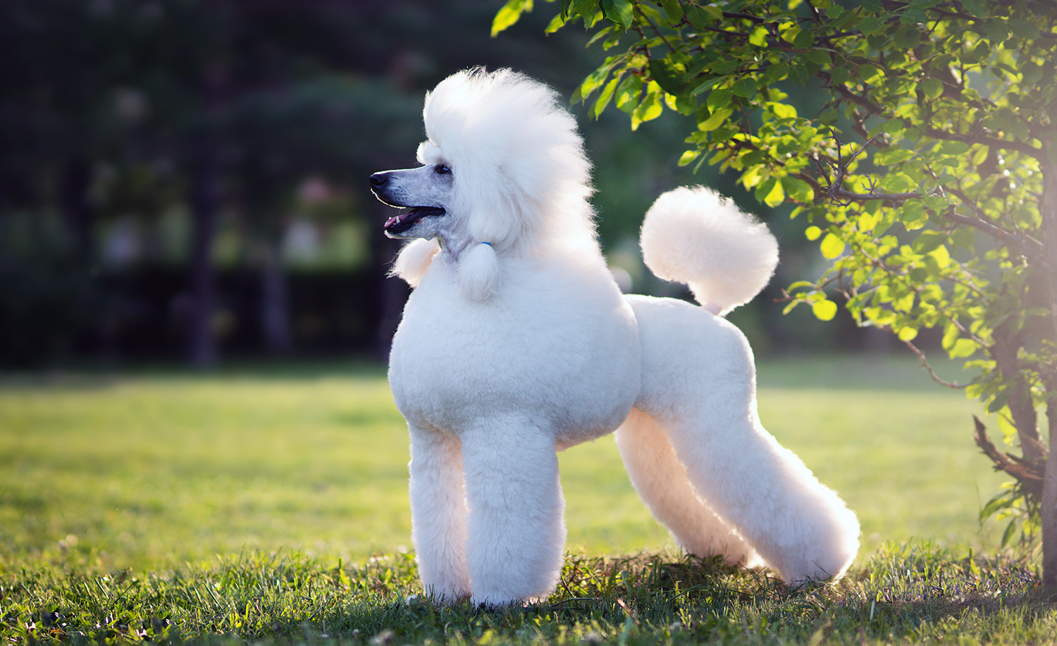 """Why the Word """"Poodle"""" Was Banned from Use on the Floor of the Knesset"""