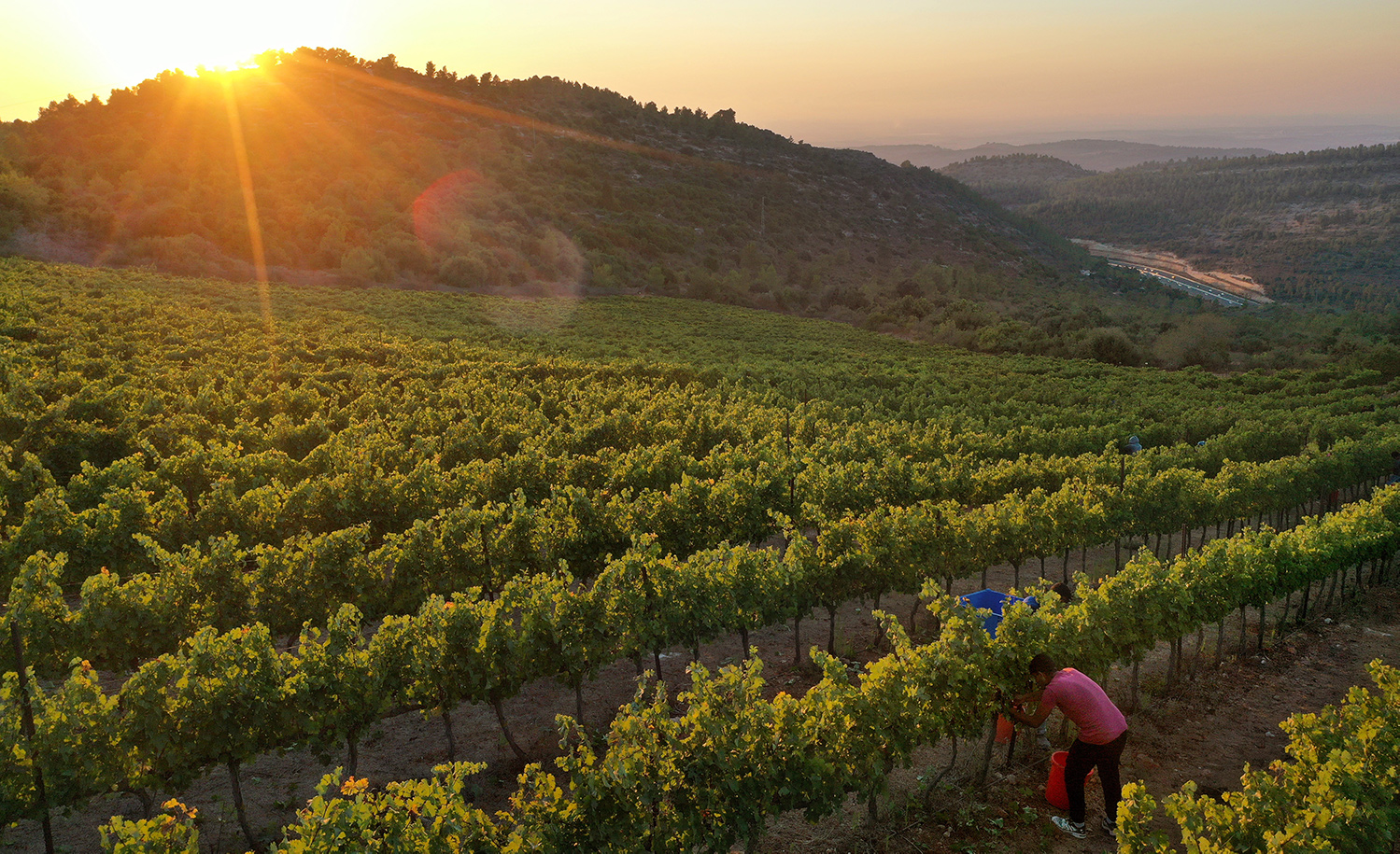 A farm worker harvests cabernet sauvignon grapes at Tzora Winery in Israel. David Silverman/Getty Images.