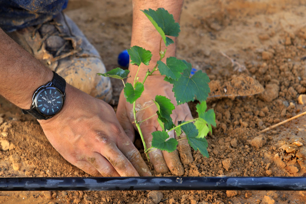 A worker plants a grapevine under a water pipe in a new vineyard for the Pinto Negev Winery in Yeruham, Israel. Photo by David Silverman/Getty Images via Getty Images.
