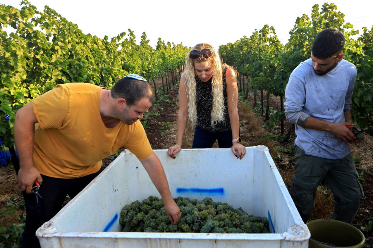 On July 27, 2021, two wine experts inspect a grape harvest from the Tabor Winery in Northern Israel. Photo by David Silverman/Getty Images.